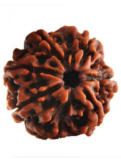semilla de rudraksha