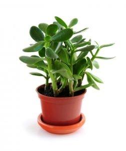 planta de jade